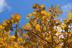 Branch of oak tree with yellow autumn leaves Stock Photos
