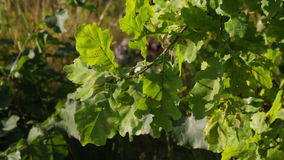 Branch of oak stock footage