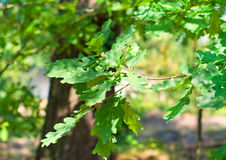 Branch of oak Stock Images