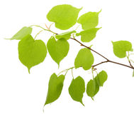 Branch Of A Birch Stock Image