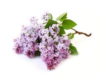 Free Branch Of A Lilac Royalty Free Stock Photo - 18020845