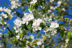 Branch Of Apple Blossoms And A Bee Royalty Free Stock Photo