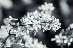 Free Branch Of Bird Cherry Tree On Green Background. Black And White Background. Flowers Bird Cherry. Stock Image - 73848021