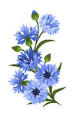 Branch Of Blue Cornflowers. Vector Illustration. Royalty Free Stock Photography