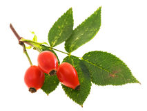 Branch Of Dog Rose With Hips Royalty Free Stock Photo