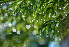Free Branch Of Fir Tree With Waterdrops Stock Photos - 66950543