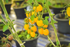 Branch Of Fresh Yellow Cherry Tomatoes Hanging On Trees In Organ