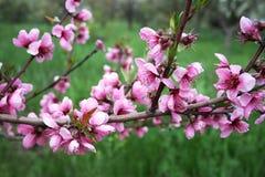Branch Of Peach Stock Photo