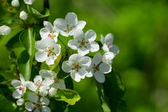 Branch Of Pear Blossom. White Flowers On A Tree Royalty Free Stock Photos