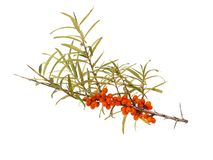 Branch Of Sea Buckthorns, Hippophae Rhamnoides, With Ripe Berries Stock Photos