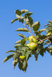 Branch oh an apple tree full of green unripe fruit Stock Photography