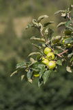 Branch oh an apple tree full of green unripe fruit Royalty Free Stock Image