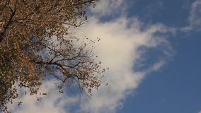 Branch of an old aspen with yellow leaves. Against a blue sky with cumulus clouds stock footage