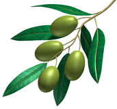 Branch of the olive Royalty Free Stock Photo