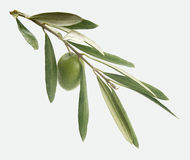 Branch with olive Royalty Free Stock Photo