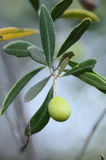 Branch with an olive Stock Photography