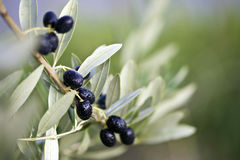 Branch of an olive tree Royalty Free Stock Photo