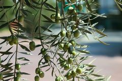 Branch of olive tree with berries royalty free stock photography