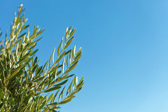 Branch of olive tree with blue sky on background Royalty Free Stock Photo