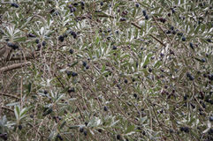 Branch of an olive tree close up. In high quality Royalty Free Stock Images