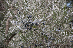 Branch of an olive tree close up. In high quality Stock Photo