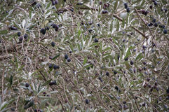 Branch of an olive tree close up. In high quality Stock Photography