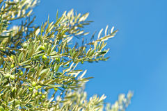 Branch of olive tree - close up outdoors shot Stock Image