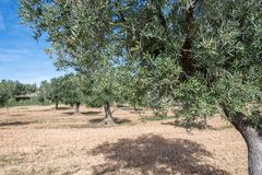 Branch of olive tree in the field royalty free stock photo