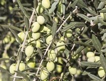 Branch of olive tree with green berries stock photos
