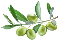 Branch of olive tree with green olives on it. Royalty Free Stock Image
