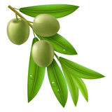 Branch of olive tree with green olives Royalty Free Stock Photos