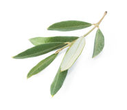 Branch of an olive tree Royalty Free Stock Photography