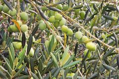 Branch of olive tree with leaves and fruits, background Royalty Free Stock Photo