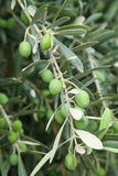 Branch of olive tree with olives on it. Stock Photo