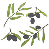The branch of the olive tree with olives. Royalty Free Stock Image