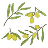 The branch of the olive tree with olives. Royalty Free Stock Photos