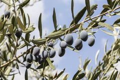 Branch of an olive tree with ripe blue berries stock images