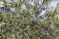 Branch of olive tree with ripe blue berries royalty free stock image