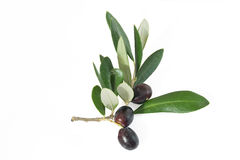 Branch with olives Stock Photography