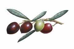 Branch of Olives Royalty Free Stock Image