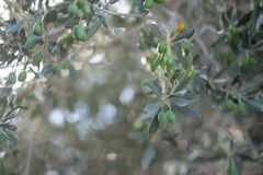 Branch with olives on olive tree Royalty Free Stock Photo