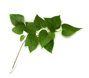 Free Branch On The White Backgound Royalty Free Stock Photography - 3186047