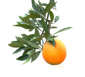 A branch with orange. A branch with ripe orange Stock Image