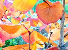 Colorful autumn leaves. Branch with orange autumn leaves closeup Royalty Free Stock Images