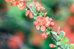Branch of an orange bush  chaenomeles. On an orange-green background Royalty Free Stock Image