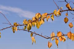 Branch with leaves on october. A branch of orange fall autumn leaves. Apricot tree Stock Image