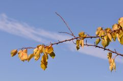 Branch with leaves on october. A branch of orange fall autumn leaves Royalty Free Stock Image