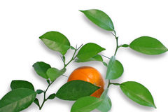 Branch of orange isolated. Royalty Free Stock Images