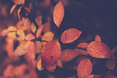 Branch with orange leaves, autumn background Royalty Free Stock Photography
