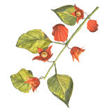 The branch of orange physalis Stock Images